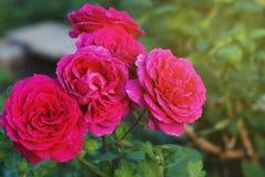 Roze Fucsia-struik rosses in Bloei in Tuin Semidouble bloemen in grote bossen worden gehouden die Boom op gebied royalty-vrije stock afbeeldingen