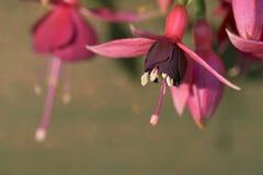 Roze fushia op de zomer Royalty-vrije Stock Foto