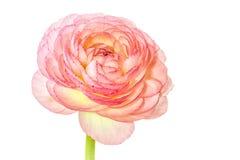 Roze geïsoleerd Ranunculus Royalty-vrije Stock Afbeelding
