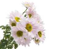 Roze geïsoleerde chrysant royalty-vrije stock foto's