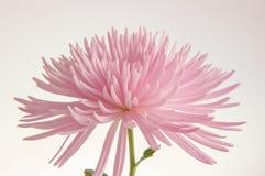 Roze geïsoleerde chrysant stock foto's