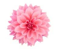 Roze geïsoleerde dahlia royalty-vrije stock fotografie