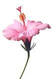 Roze geïsoleerde hibiscus Royalty-vrije Stock Foto