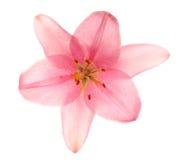 Roze geïsoleerde lelies. stock afbeeldingen