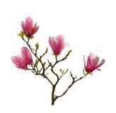 Roze geïsoleerde magnoliabloemen Royalty-vrije Stock Foto