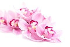 Roze geïsoleerde orchideebloemen royalty-vrije stock foto