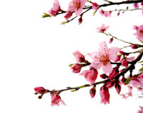 Roze geïsoleerde perzikbloesems Stock Foto's