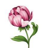 Roze geïsoleerde pioenbloem en groene krullende bladerenillustratie, Royalty-vrije Stock Afbeelding