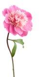 Roze geïsoleerdee pioenbloem Stock Foto's