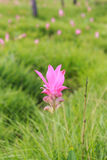 Roze gebied van de tulp van Siam in Thailand Royalty-vrije Stock Afbeeldingen