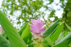 Roze gebied van de tulpenbloem van Siam met bokeh zacht licht Stock Foto's