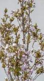 Roze gebloeid struikdetail stock foto