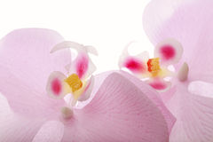 Roze gekleurde bloemen - zachte kleuren witte achtergrond Royalty-vrije Stock Fotografie