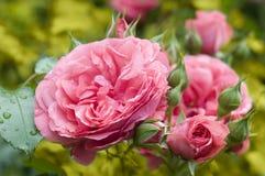 Roze gekleurde pastell nam toe. Stock Foto's