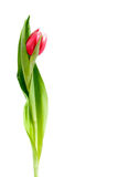 Roze gekleurde tulp Royalty-vrije Stock Foto
