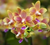 Roze Gele Bevlekte Orchideeën Stock Foto