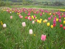 Roze, gele, purpere en rode tulpen op een de lentegebied stock foto's