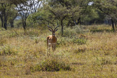 Roze Geleide Hagedis in Serengeti Royalty-vrije Stock Fotografie