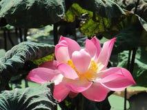 roze geopende lotusbloembloem in de wildernis Royalty-vrije Stock Fotografie