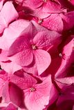 Roze geranium Royalty-vrije Stock Afbeelding