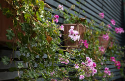 Roze geranium Stock Fotografie