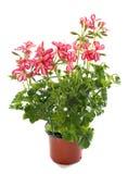 Roze geranium Stock Foto
