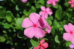 Roze geranium Stock Afbeelding