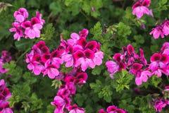 Roze geranium in zijn schittering in de lente stock foto