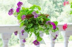 Roze geraniumbloemen Stock Afbeelding