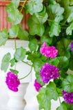 Roze geraniumbloemen stock afbeeldingen