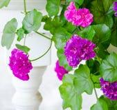 Roze geraniumbloemen Stock Foto's