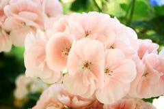 Roze geraniumbloemen Stock Foto