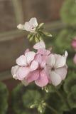 Roze geraniumbloemen op tak, pastelkleurenkleur Royalty-vrije Stock Foto's