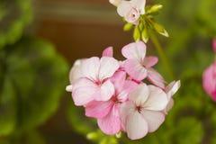 Roze geraniumbloemen op tak, pastelkleurenkleur Stock Afbeeldingen