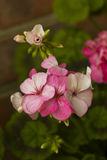 Roze geraniumbloemen op tak, trillende kleur Stock Afbeelding