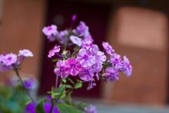 Roze geraniumbloemen in tuin Stock Afbeelding