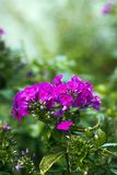 Roze geraniumbloemen in tuin Stock Fotografie