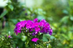 Roze geraniumbloemen in tuin Royalty-vrije Stock Foto