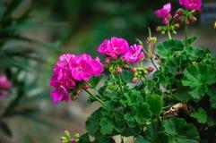 Roze geraniums Royalty-vrije Stock Foto's