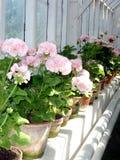 Roze geraniums stock afbeeldingen