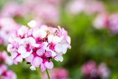 Roze geraniums in de ochtend Stock Fotografie