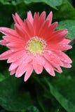 Roze gerber 5 Royalty-vrije Stock Foto's