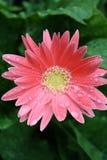 Roze gerber 2 Royalty-vrije Stock Foto's