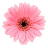 Roze gerber stock fotografie