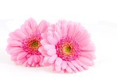Roze gerber twee Stock Foto