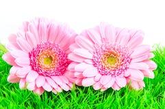 Roze gerber twee op groen gras Royalty-vrije Stock Afbeeldingen