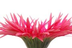 Roze gerbera Royalty-vrije Stock Afbeeldingen
