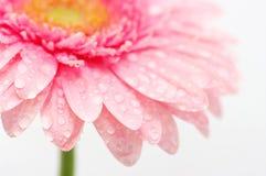 Roze gerbera Royalty-vrije Stock Afbeelding