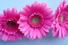 Roze Gerbera Stock Foto's