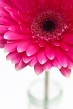 Roze gerbera Royalty-vrije Stock Fotografie